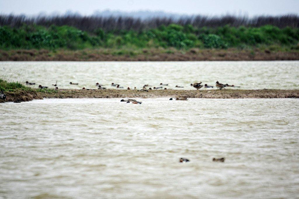 Tadornes de Belon et canards siffleurs en arrière plan