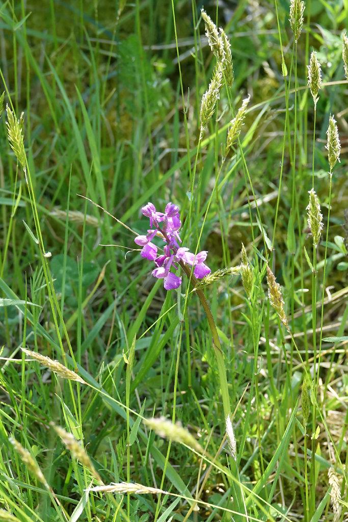 Les Orchidées d'Oléron