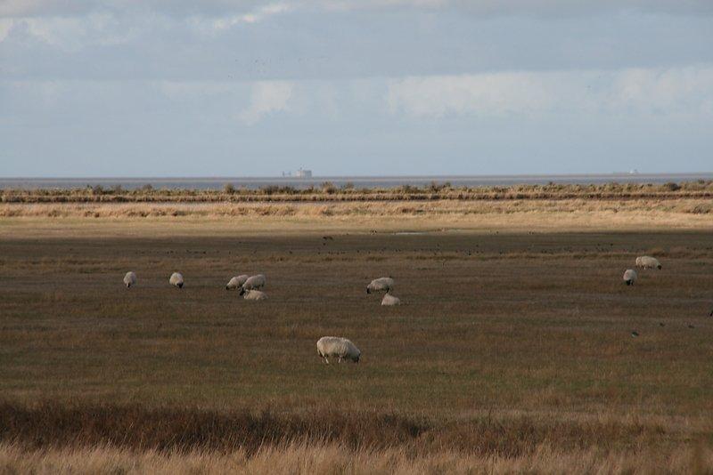 la zone naturelle, un lieu de partage, oiseaux, moutons etc...au loin fort boyard