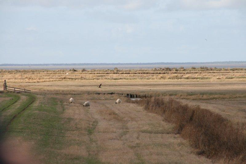 busard des marais en chasse