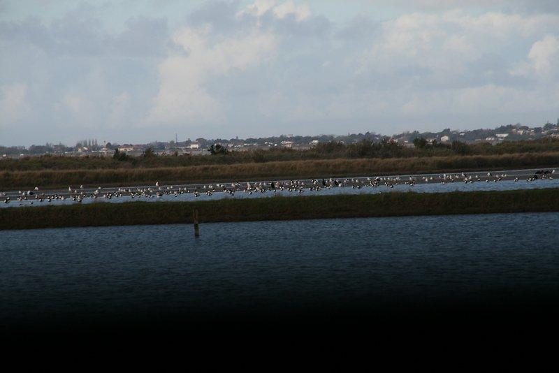 beaucoup d'oiseaux mais ils sont loin