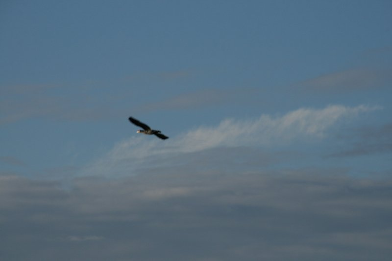 cormoran de passage