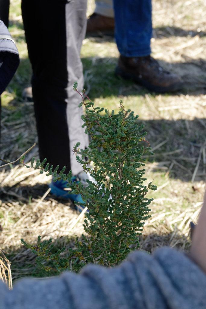 Salicorne arborescente