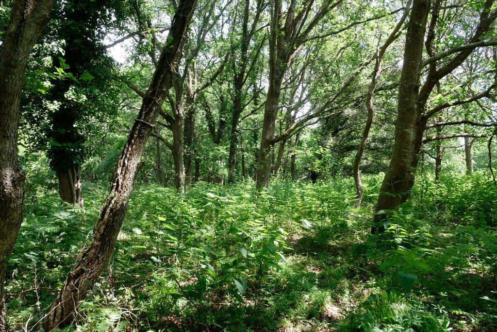 Fougères aigle et chênes en lisière