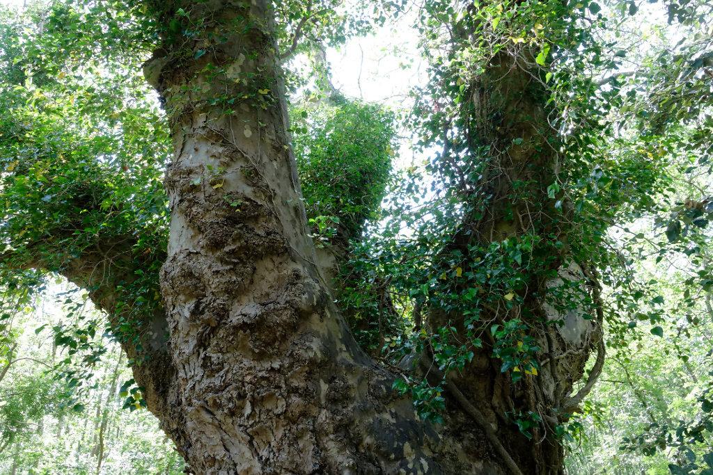 un tronc majestueux