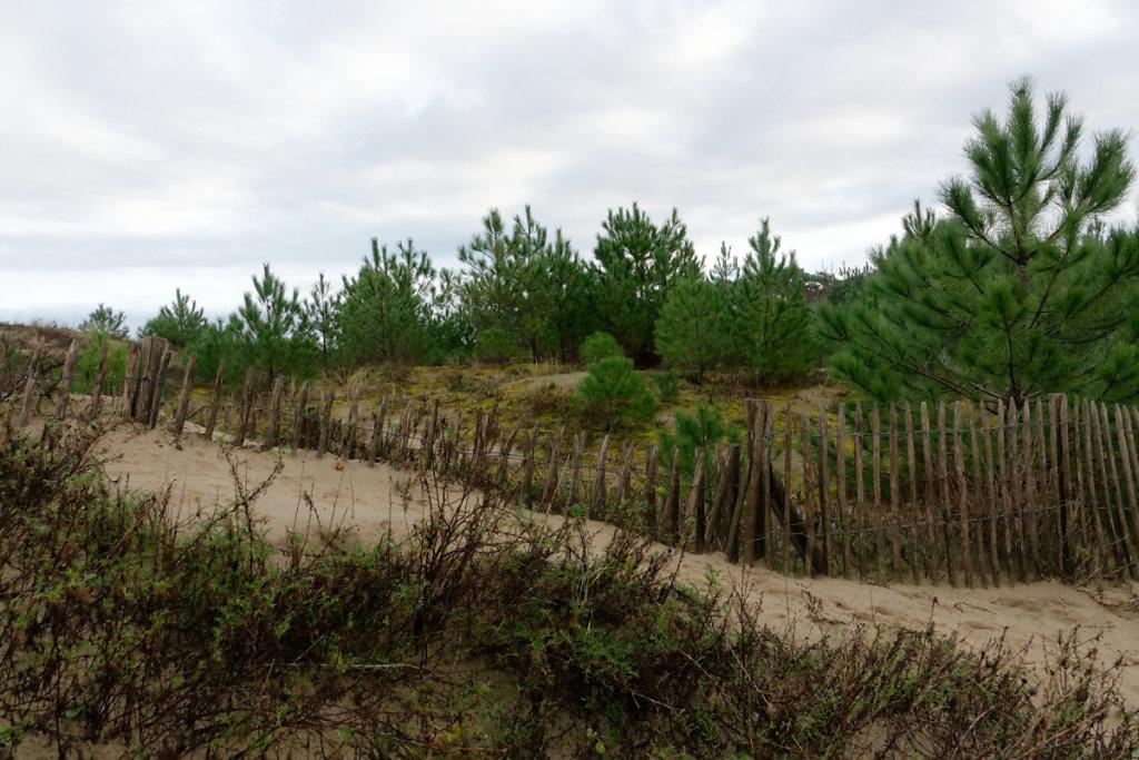Jeune boisement de pins en lisière de dune grise