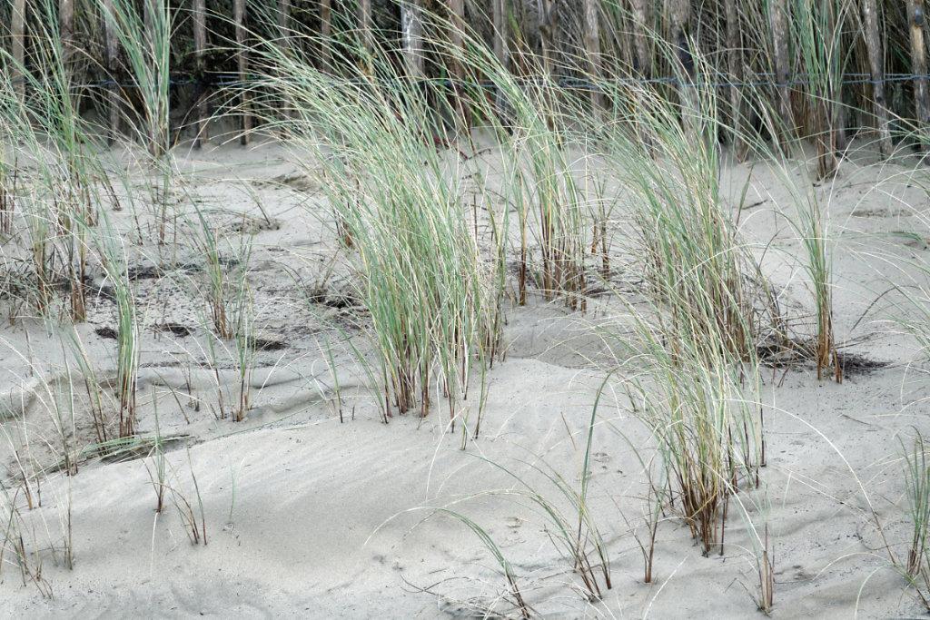 l'oyat fixe le sable