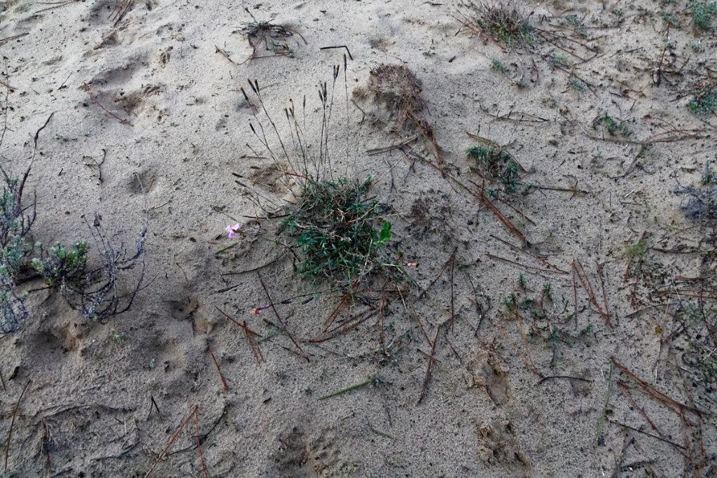 L'œillet des dunes