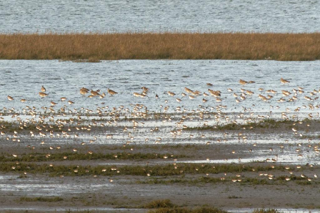 Les plus gros oiseaux sont des courlis cendrés