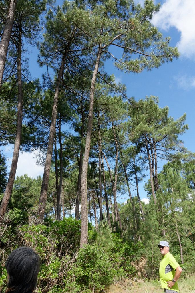 des pins centenaires